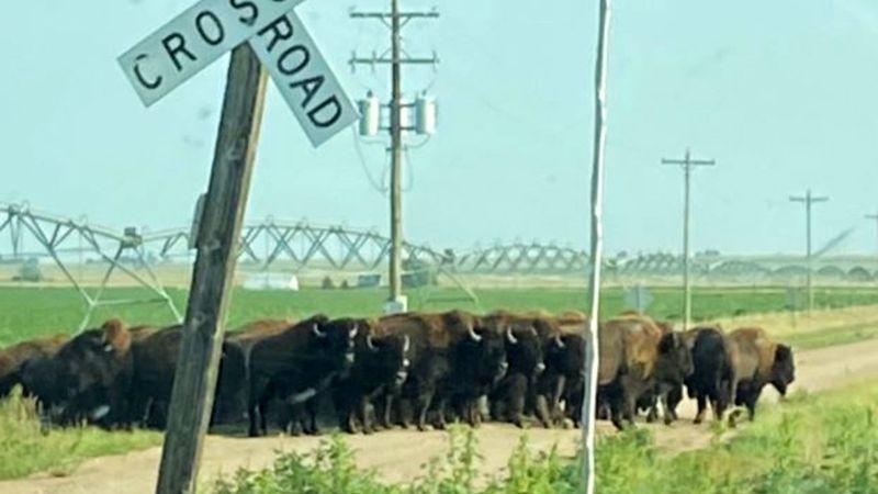 Buffalo loose in Phelps county