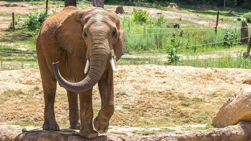 Callee, an African elephant at Omaha's Henry Doorly Zoo & Aquarium, will be a dad next year,...