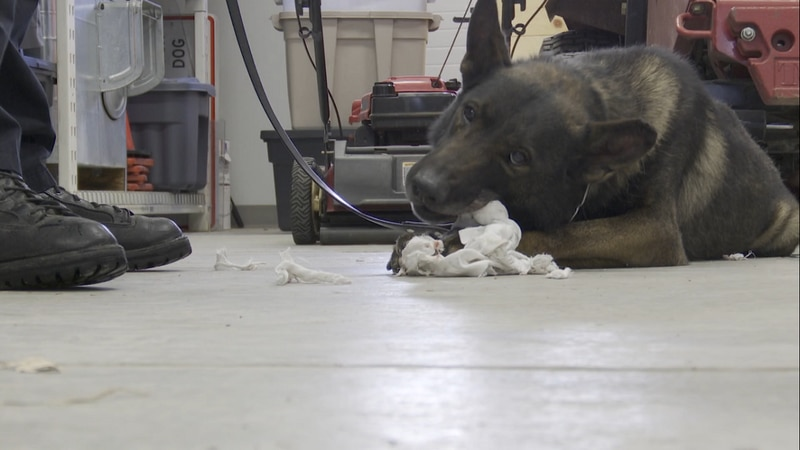 K9 Yuri is retiring from the Lincoln Police Department after more than seven years of service.