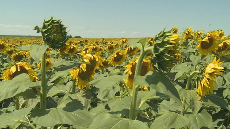 """Alan Koelling runs a business called """"Simply Sunflower"""", and he grows sunflowers to produce..."""