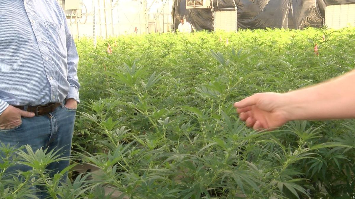 Western Farms is working on pollenizing the hemp plants in January (Source KNEP)