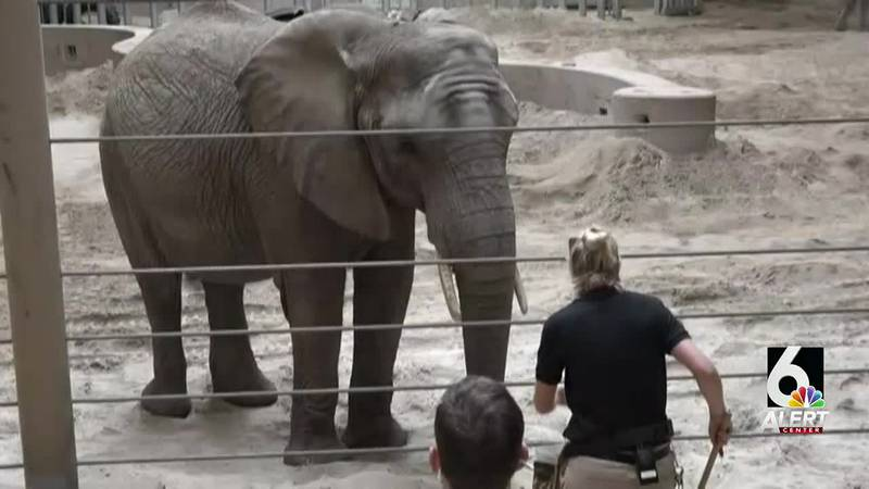 Omaha Henry Doorly zoo officials announced a second elephant, Kiki, is also pregnant and to be...