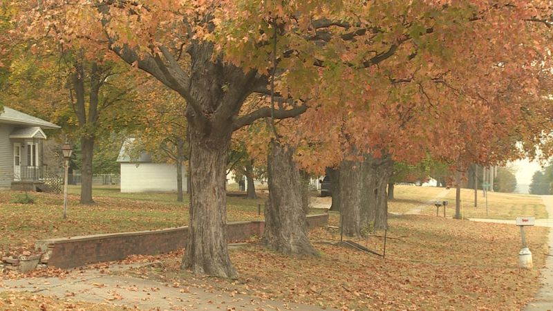 If you live in Table Rock, then you are probably familiar with the sugar maples.  Several of...