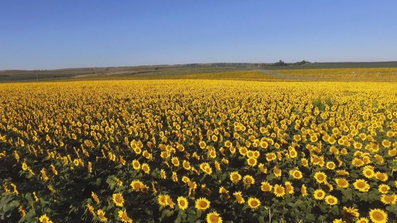 A fourth generation farmer has developed a business in central Nebraska by raising sunflowers,...
