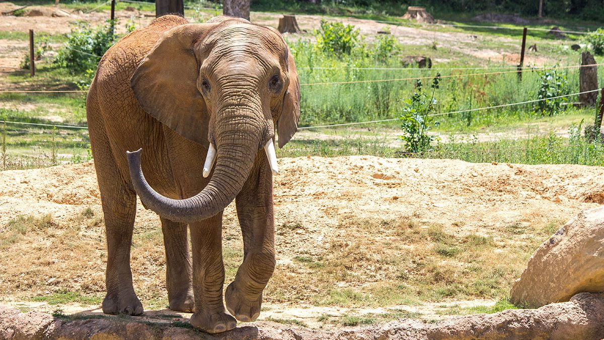 Callee is on his way from the Birmingham Zoo in Alambama to the Omaha Henry Doorly Zoo & Aquarium to join the herd in the Scott African Grasslands exhibit. He is expected to arrive Wednesday, May 29, 2019. (Scott Kayser / Birmingham Zoo)