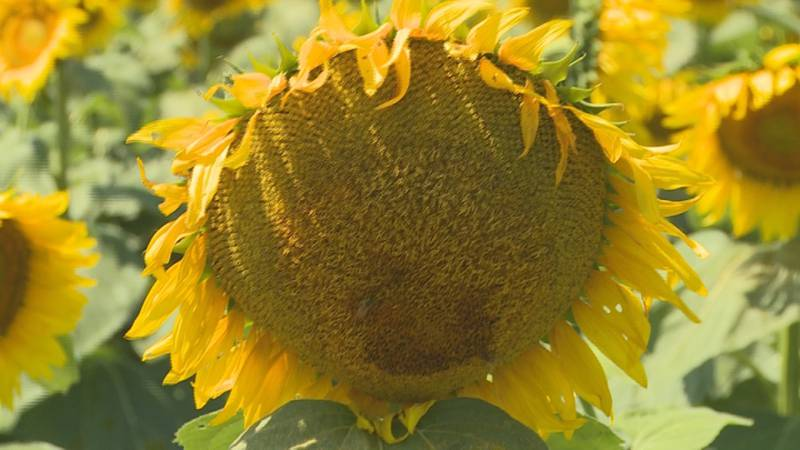 During a recent field day event, the owners of Simply Sunflower gave the public a chance to see...