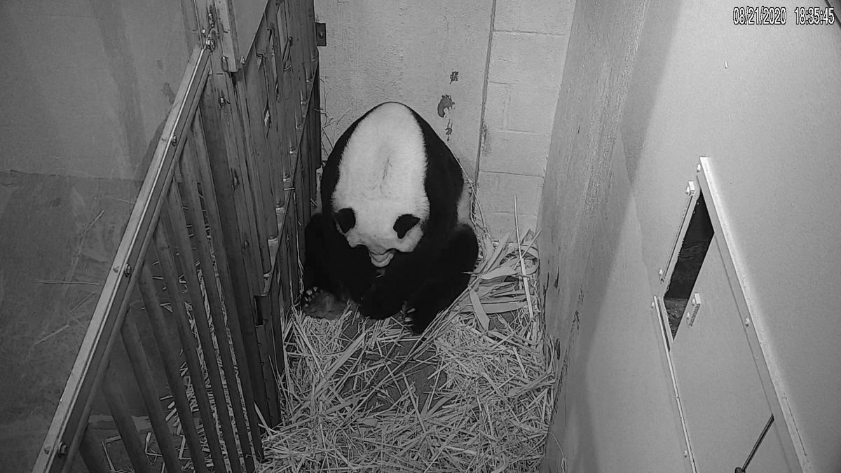 In this image from video provided by the Smithsonian National Zoo, Mei Xiang is seen after giving birth to a Giant Panda cub Friday evening, Aug. 21, 2020, in Washington. The cub is Mei Xiang's fourth. Her first three offspring, Tai Shan, Bao Bao and Bei Bei, were transported to China at age 4 under an agreement with the Chinese government.