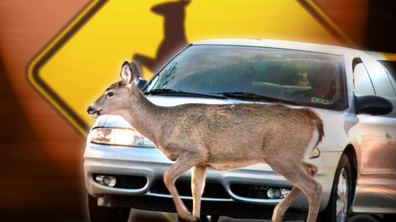 Officials say drivers who encounter a deer should slow down and only take evasive action if it...