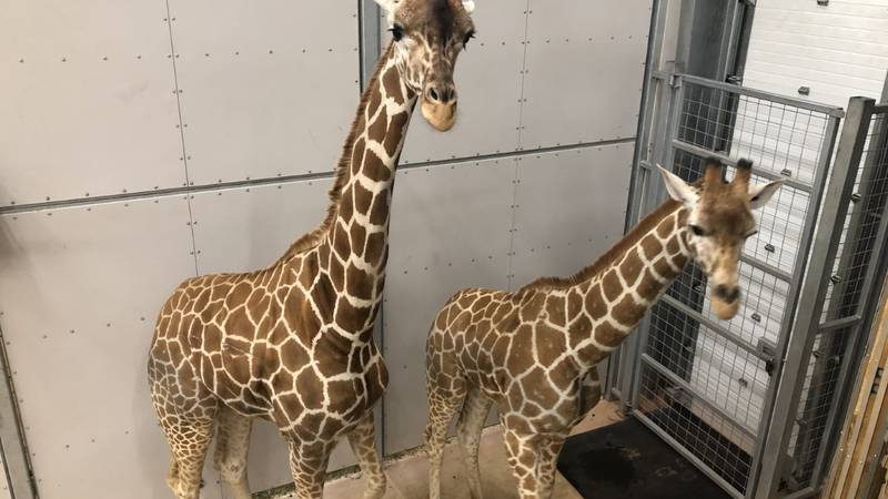 Two female giraffes, Zawadi and Ruby, arrived in Lincoln on May 11 from the San Diego Zoo...